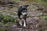 Esikatselukuva albumille: Koirien kanssa metsässä 08112011